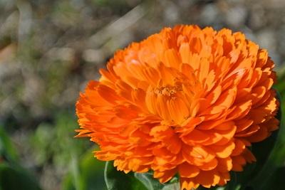 カレンデュラ花