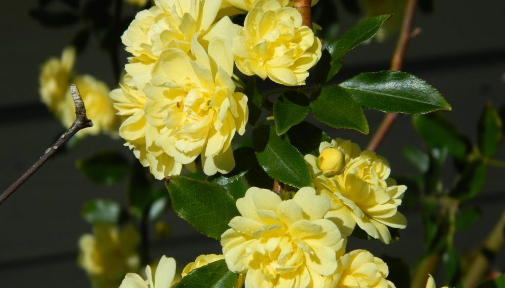 yellow-banksia-rose